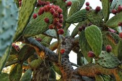 Prickly pears growing in the cactus Stock Photo