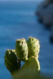 Prickly pears grown up by the sea Stock Images