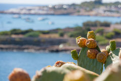 Prickly pears grown up by the sea Royalty Free Stock Photo