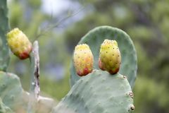 Prickly pears nature. Prickly pears in the field stock photos