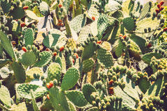 Prickly pears Opuntia ficus-indica - also known as indian figs Stock Photo