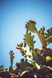Prickly pears Opuntia ficus-indica - also known as indian figs Royalty Free Stock Photos
