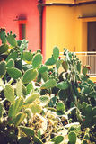 Prickly pears Opuntia ficus-indica - also known as indian figs Royalty Free Stock Images