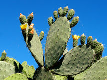 Prickly pears Royalty Free Stock Photo