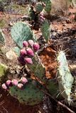 Red prickly pears. Prickly pears, with fruits, USA, Arizona stock photos