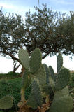 Prickly pears royalty free stock photography