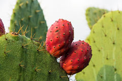 Prickly pears. Red prickly pears in morning moisture royalty free stock photography
