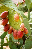 Prickly pears Stock Image
