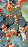 Prickly plant with ripe Prickly pear ready for harvest Stock Photos