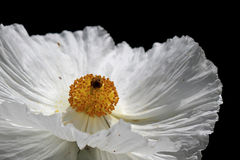 Prickly Poppy bloom Stock Photo