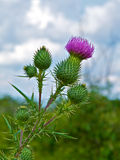 Prickly Profile of Bull Thistle Plant Stock Photo