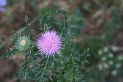 Prickly purple Thistle flower in field royalty free stock photo