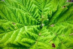 Prickly Rhubarb Royalty Free Stock Image