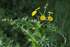 Prickly or Rough Sow-thistle Stock Image