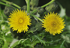 Prickly or Rough Sow-thistle. Sonchus asper stock image