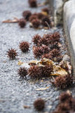 Prickly Seeds Stock Images