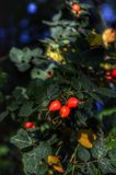 Medicinal dog rose on a bush royalty free stock image