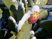 Prickly snowing at morning. One prickly snowing at morning Stock Photos