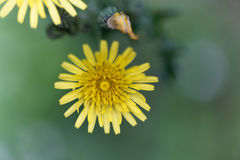 Prickly sow thistle Sonchus asper Stock Photos