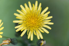 Prickly sow thistle Sonchus asper Royalty Free Stock Image