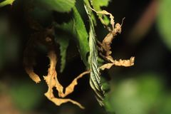 prickly stick för jätte- kryp Royaltyfria Bilder