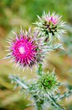 Prickly thistle Royalty Free Stock Image