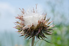 Prickly thistle Stock Photo