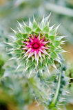 Prickly thistle Royalty Free Stock Photo