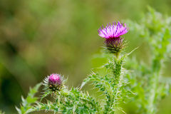 Prickly thistle plant Stock Photos
