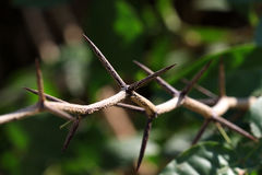 Prickly thorns Royalty Free Stock Photos