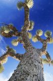 Prickly tree low angle view Royalty Free Stock Photo