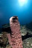 Prickly tube sponge Stock Photos