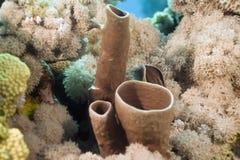 Prickly tube-sponge (callyspongia crassa) Stock Photography