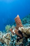 Prickly tube sponge on a tropical reef. Royalty Free Stock Photos