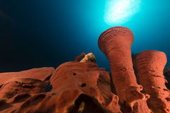 Prickly tube-sponge and tropical reef in the Red Sea. Royalty Free Stock Photos