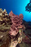 Prickly tube-sponge and tropical reef in the Red Sea. Stock Photo