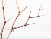 Prickly twigs of jujube Royalty Free Stock Image