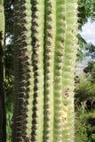 prickly växt Fotografering för Bildbyråer