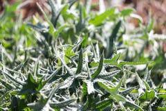 prickly växt Royaltyfria Foton