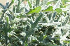 prickly växt Arkivfoto