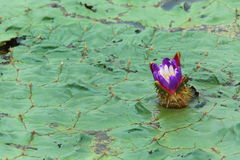 Prickly water lily Royalty Free Stock Image