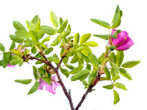 Prickly Wild Rose Rosa acicularis isolated Royalty Free Stock Photo