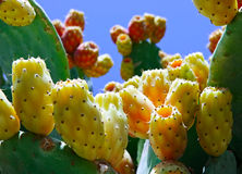 Pricky Pear Cactus Royalty Free Stock Photos
