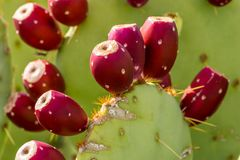 Pricky Pear Cactus Fruit. A prickly pear cactus in the Arizona desert bearing ripe red fruit royalty free stock images