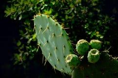 Pricky Pear Cactus Stock Image