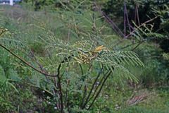 Pricky wood weed or giant sensitive plant, one of serious weeds of the world. Invasive weed stock images