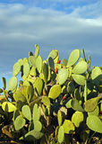 Pricly-pears. Pricly pears in sicily Italy and blue sky stock images