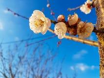 Pricot blommor Arkivbild