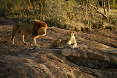 Pride of Africa. A family of lions is called a pride of lions in Africa Stock Photography