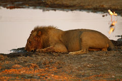 Pride of Africa The Regal Lion Stock Images